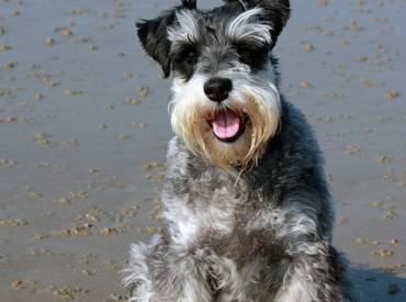 Popular Hot & Mild Weather Dog Grooming Styles For Schnauzers