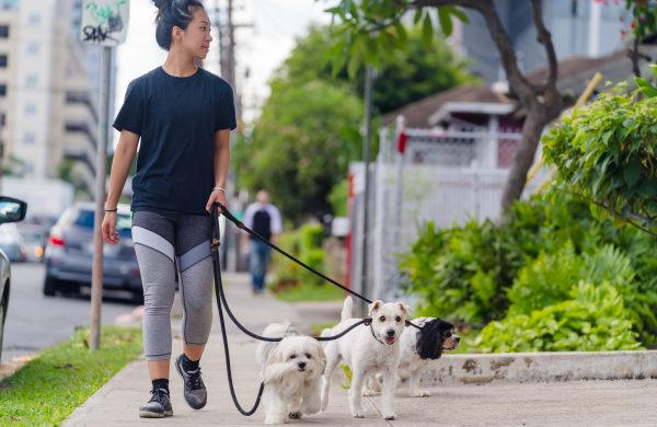 Dogs being walked in honolulu
